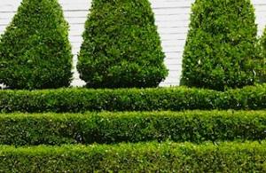43-manicured_bushes