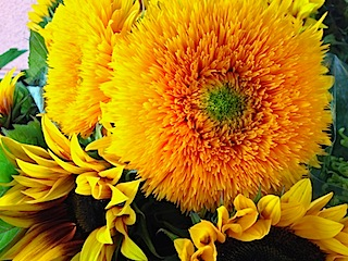 sunflowers-vibrant-yellow